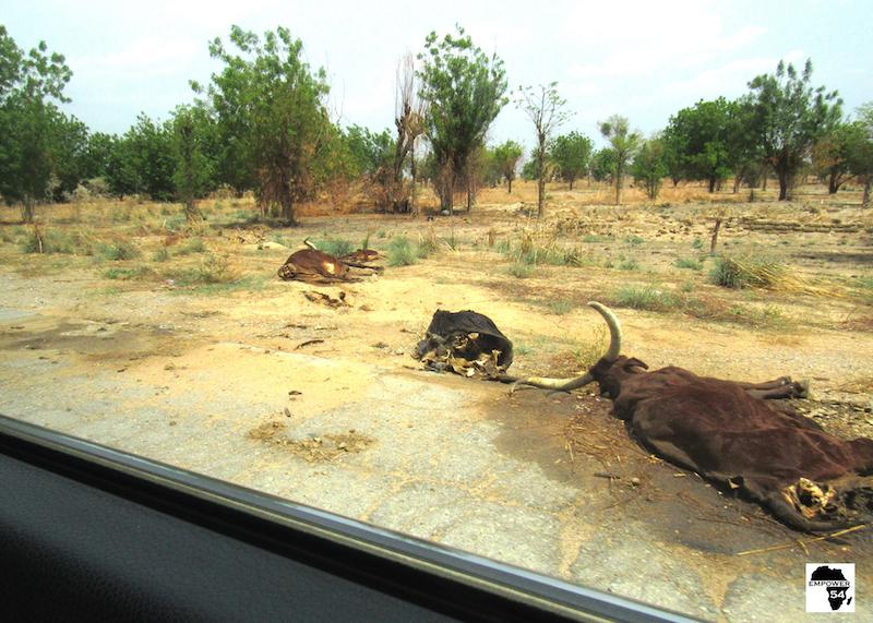 Dead cows site